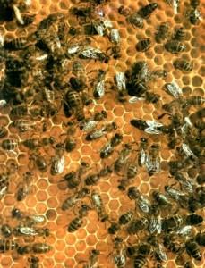 Высокоорганизованное сообщество пчел