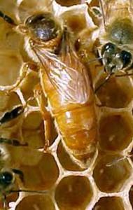 Кладка яиц пчелиной маткой