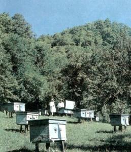 Продлить рост пчелиной семьи — предупредить роение