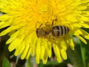 Лётные пчёлы