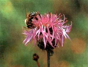 Луговой василек - прекрасный нектаронос