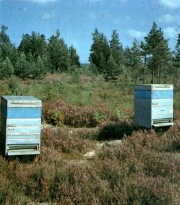 Семьи обмениваются пчелами