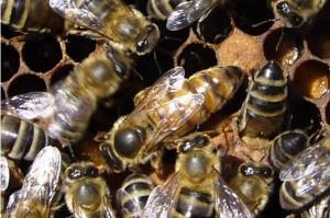 Основная функция пчелиной матки - откладывать яйца
