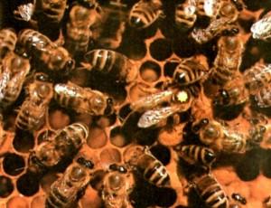 Открытый пчелиный расплод