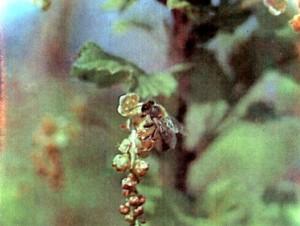 Пчела на цветке смородины