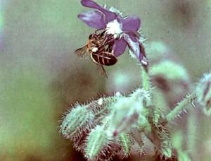 Пчела на огуречной траве