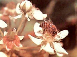Пчелы в зарослях ежевики