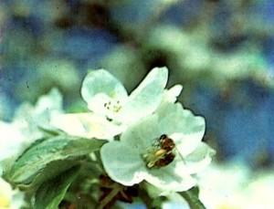 Пчелы - главные опылители садов