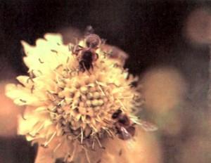 Пчелы на цветке скабиозы белой