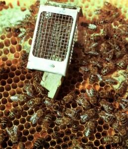Пчелы приняли матку