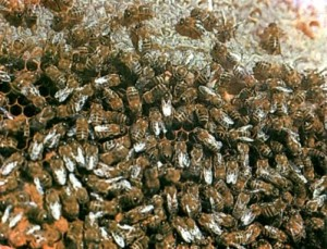 Пчелы серые горные кавказские