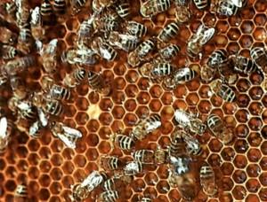 Пчелы складывают мед в ячейки сотов