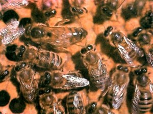 Пчелы среднерусской породы
