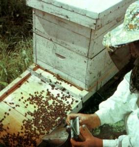 Посадка роя пчел