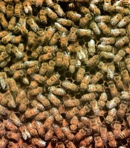 Так густо обсиживают пчелы гнездовые соты