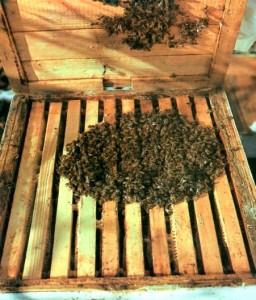 Зимний клуб пчел