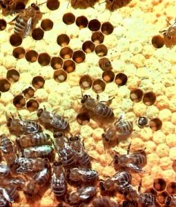 Зрелый пчелиный расплод