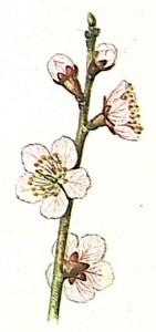 Абрикос обыкновенный (Apricot)