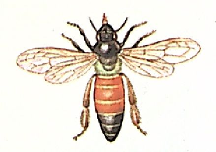 Бол��ая индий�кая п�ела apis dorsata 187 work bee