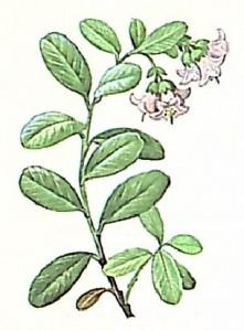 Брусника обыкновенная (Vaccinium vilis — idaea)