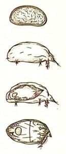 Цикл развития клеща Acarapis woodi