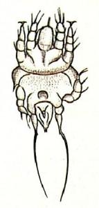 Самка клеща. Акарапидоз (Acarapis woodi)