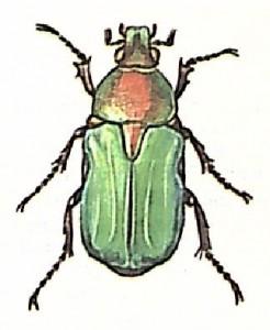 Бронзовка золотистая (Ceioniinae)