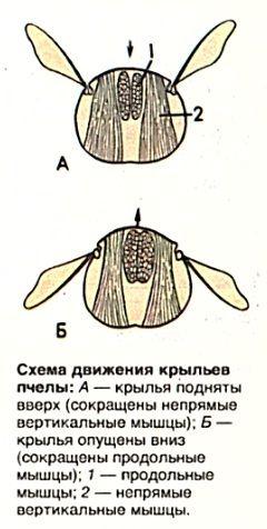 Движения крыльев пчелы