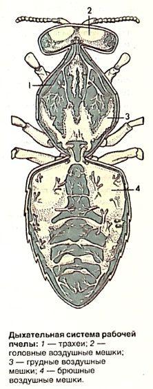 Дыхательная система рабочей пчелы