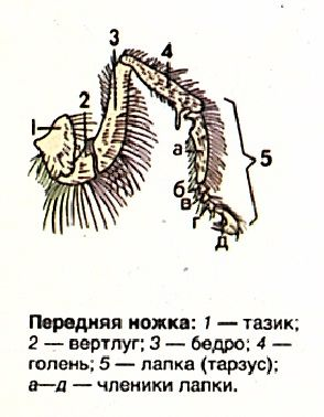 Передняя ножка пчелы