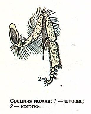 Средняя ножка пчелы