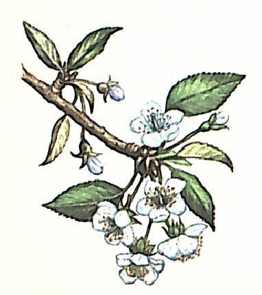 Вишня обыкновенная (С. vulgaris)