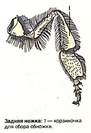 Задняя ножка пчелы
