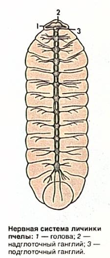 Нервная система личинки пчелы