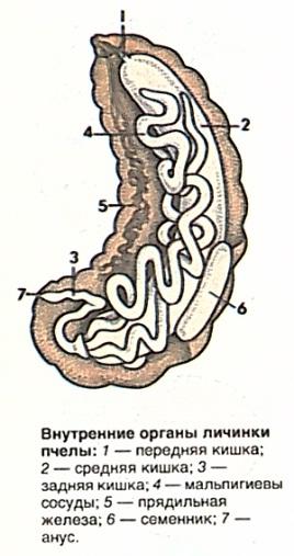 Внутренние органы личинки
