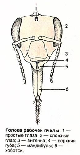 Голова рабочей пчелы