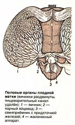Половые органы плодной матки